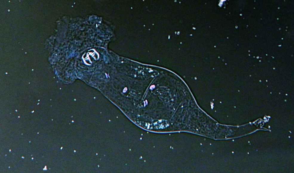 Dissolving rotifer