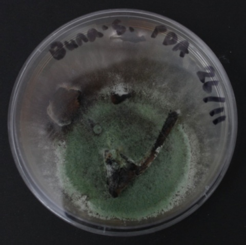 'Mushroom compass': Buna fungi allowed to grow with microbial contaminants. 120 hrs.